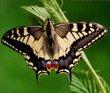 Fluturele din omidă